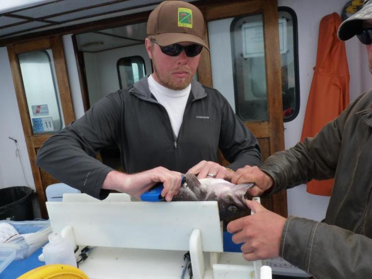 Results from an ODFW study of the black rockfish population off Newport was used in federal stock assessments.