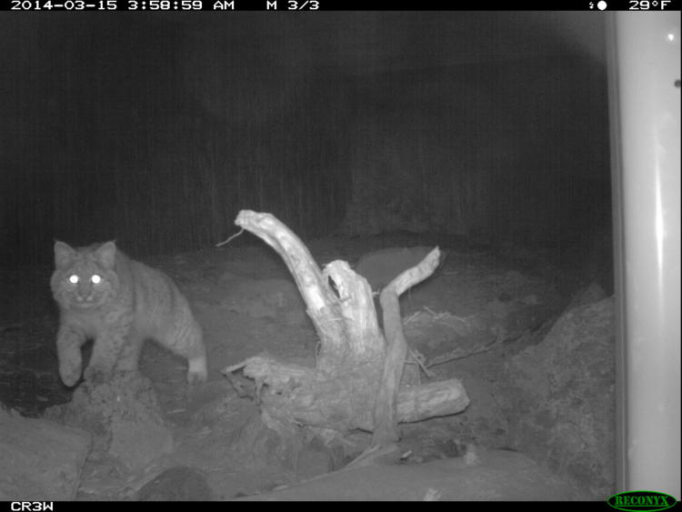 The wildlife camera placed within the Highway 97 wildlife crossing records a bobcat at night.