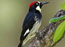 Acorn-woodpecker_Keith-Kohl_460.jpg