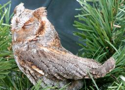 Flamulated-Owl_munsel_odfw_460.jpg