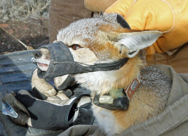 A GPS collar is placed on a kit fox to help ODFW understand where and how the species moves through SE Oregon.
