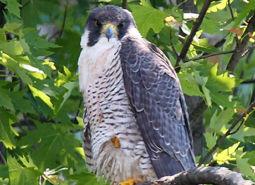 Peregrine-Falcon_USFWS_460.jpg