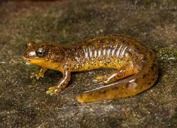 Southern_torrent_salamander_John_Clare_flickr_460.jpg