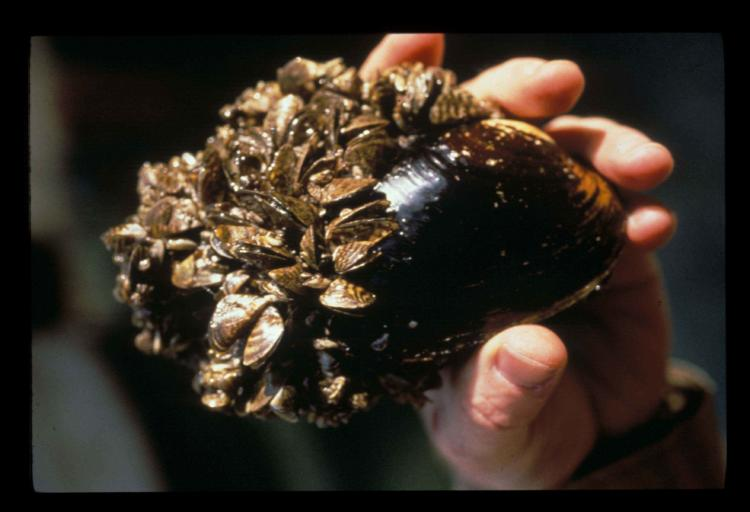 Zebra mussels (seen here attached to a larger native mussel) are among the top invasive species of concern to keep out of Oregon.